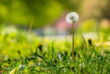 pissenlit blanc sur l'herbe verte arrière-plan flou