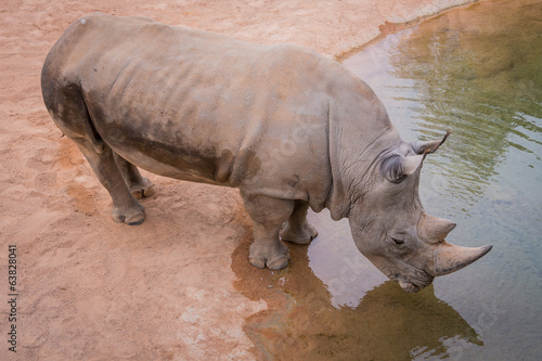 rhino at the watering