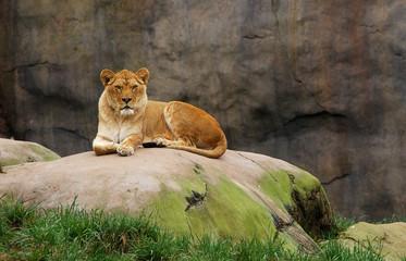Watching Lioness