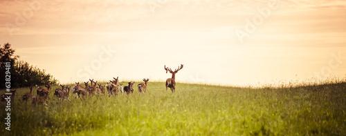 Fotobehang Hert Herd of fallow deer running on forest glade