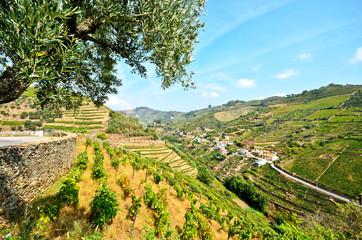 Weinterrassen und Olivenbäume Peso da Regua Rio Douro Portugal