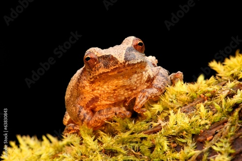 Spring Peeper (Pseudacris crucifer) on a log