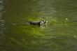 Rana esculenta, grenouille verte, green frog