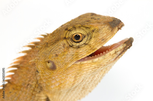 Closeup Lizard small reptile