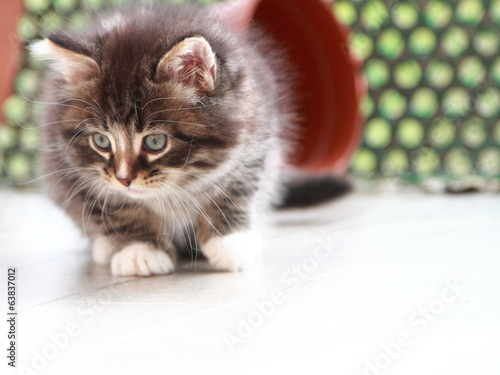 brown puppy of siberian cat at one month