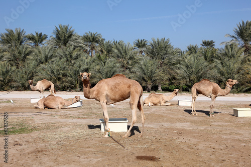 Camel farm in Janabiya, Bahrain, Middle East