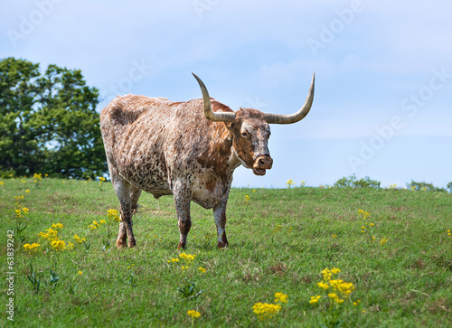 Texas Longhorn cattle grazing on summer pasture