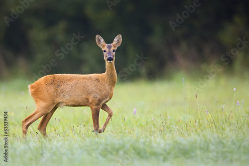 Beautiful roe-deer in the wild, in a clearing