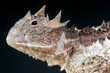 Horned lizard / Phrynosoma asio