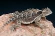 Giant horned lizard / Phrynosoma asio