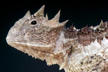Horned lizard / Phrynosoma asio