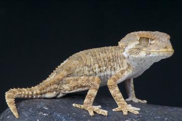 Helmeted gecko / Tarentola chazeliae