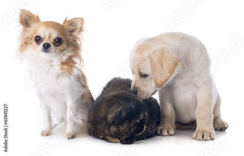 exotic shorthair cat and dogs