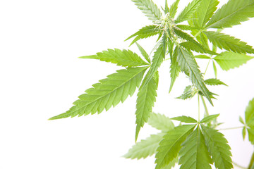 cannabis plant, marijuana on white background