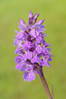 Early Marsh-orchid (Dactylorhiza incarnata) close-up.
