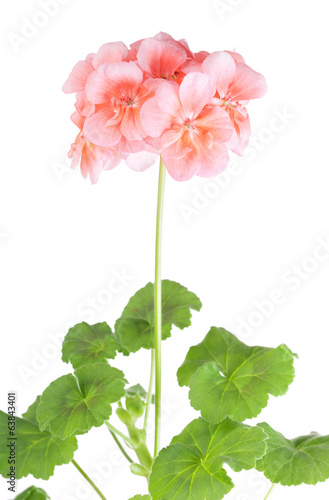 Blossoming pink geranium on a white background