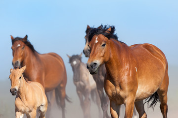 Herd of horses and foals running on blue sky.