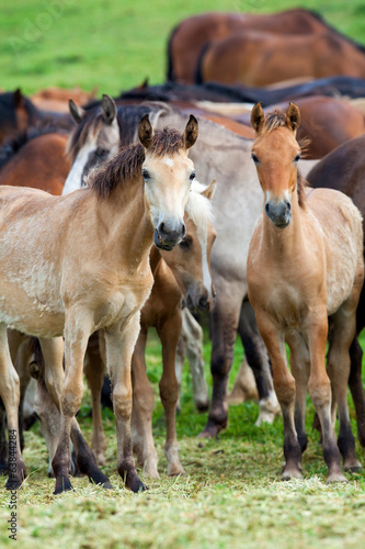 Group of horses looking at camera, Herd of animals.