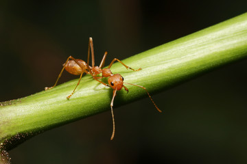 Ant walking to Foraging on a branch.