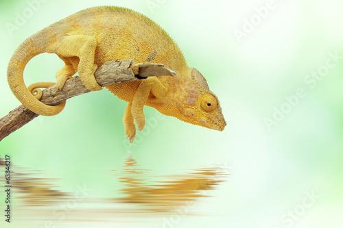 Foto op Canvas Kameleon caméléon de la Réunion et de Madagascar