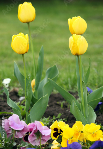 four yellow tulip flower spring season