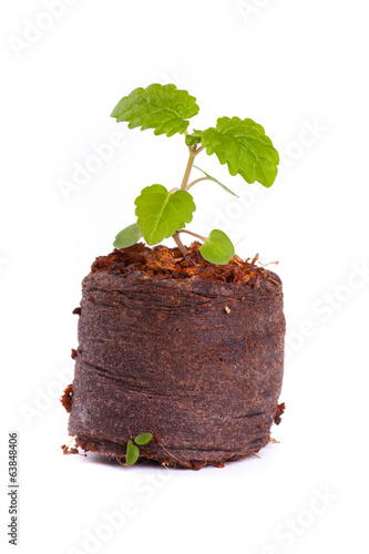 Young sprout in peat tablet, mint plant