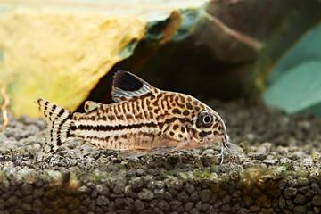 Fish. Corydoras julii
