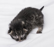 newborn kitten on a white background