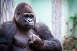 Gorille des plaines