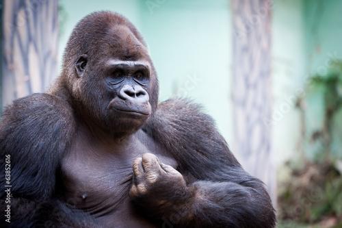 Fotobehang Afrika Gorille des plaines