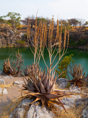 Suculent plants at Otjikoto lake