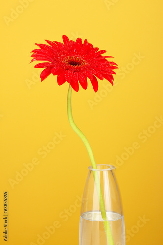 Beautiful red gerbera in vase on yellow background close-up