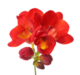 Delicate freesia flower isolated on white