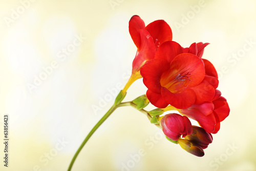 Delicate freesia flower on bright background