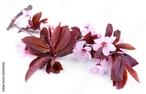 Blooming tree branch with pink flowers isolated on white