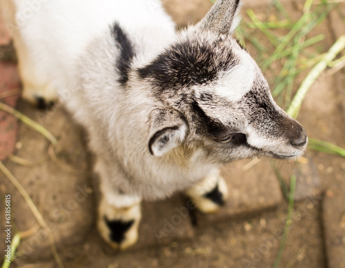 Cute grey goatling