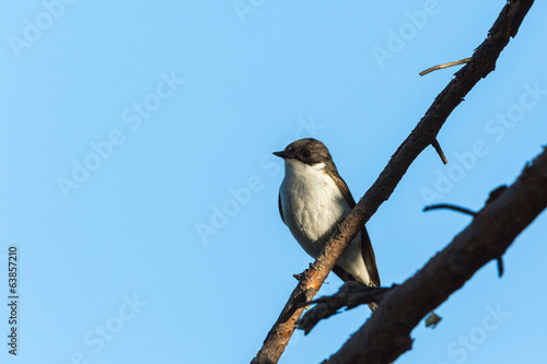 Pied Flycatcher on a branch