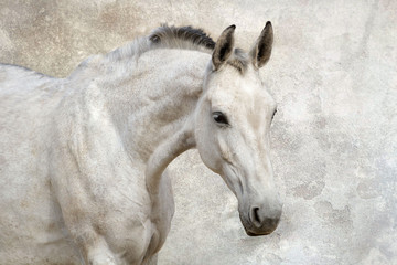 Portrait of beautiful white horse against the wall