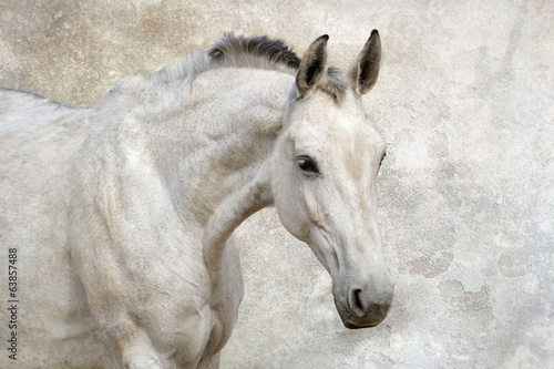 Portrait of beautiful white horse against the wall © callipso88