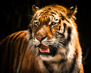 Beautiful tiger against dark background