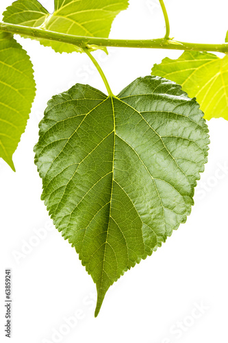 mulberry leaves isolate