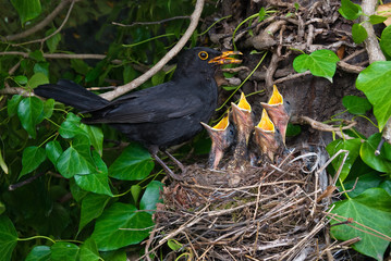 Blackbird nest male feeding chicks