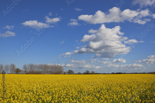 canola flowers and blue sky