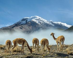 Vigognes au pieds du volcan Chimborazo