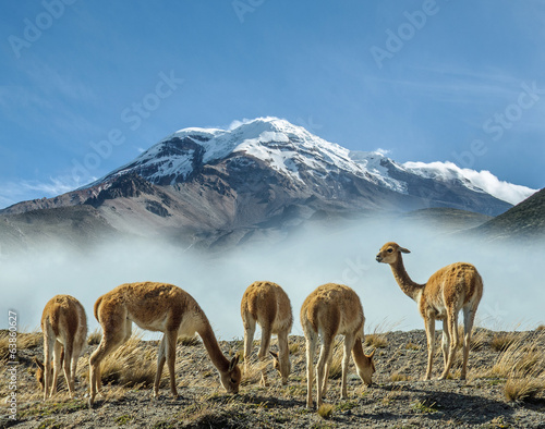 Tuinposter Zuid-Amerika land Vigognes au pieds du volcan Chimborazo
