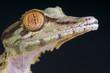 Lizard portrait / Uroplatus fimbriatus