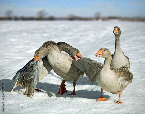 Fight geese in nature