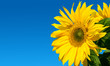 canvas print picture - Sunflower on the sky