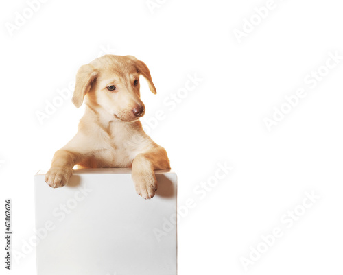 Labrador puppy and white box