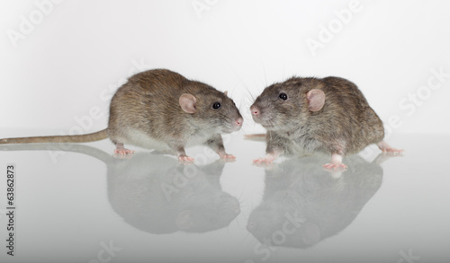 rats on a glass table